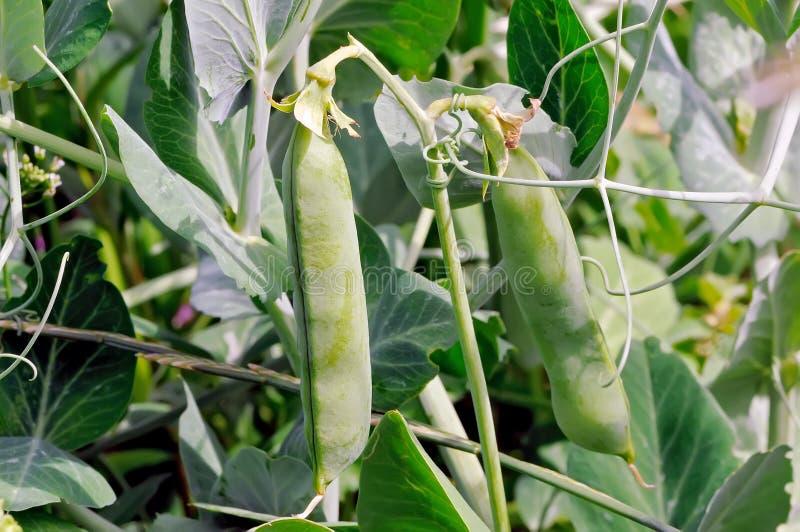 De groene peulen op een erwt plant in een tuin royalty-vrije stock afbeeldingen