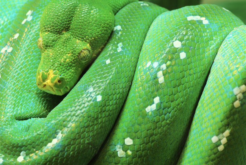 De groene Python van de Boom royalty-vrije stock foto