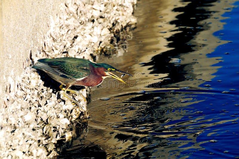 De groene Reiger butorides virescen het wegknippen vissen stock fotografie