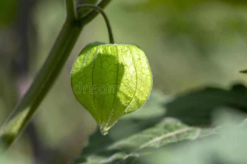 De groene rijpende vruchten van Physalisperuviana op struik in schil, groene bladeren stock foto