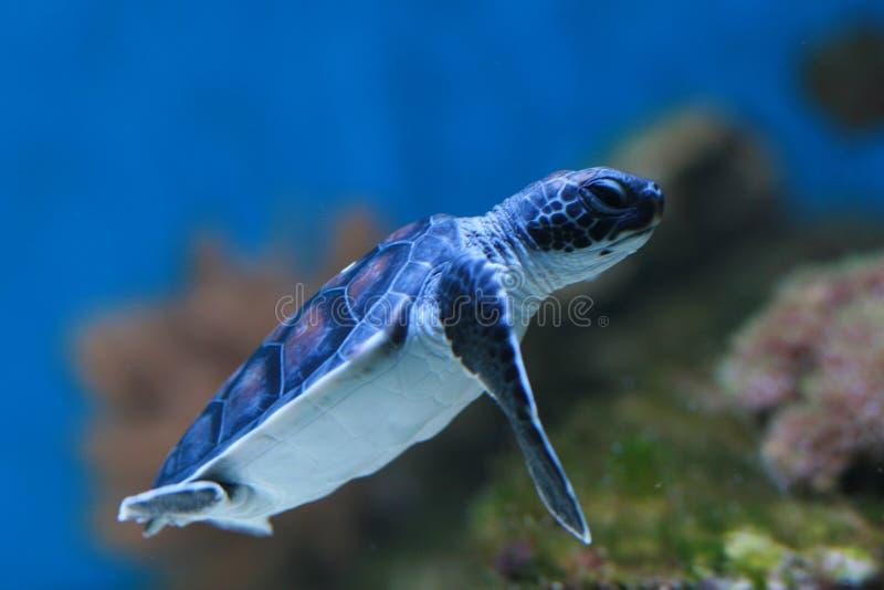 De Groene schildpad van de baby royalty-vrije stock afbeelding