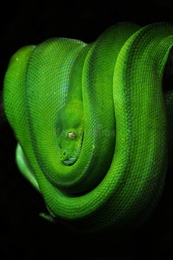 De groene slang van de Boom royalty-vrije stock afbeelding