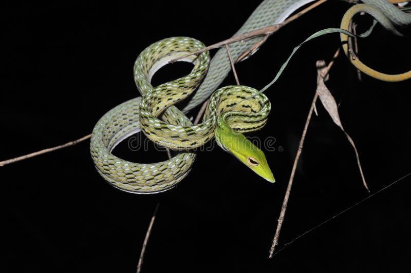 De groene slang van de Wijnstok royalty-vrije stock afbeelding