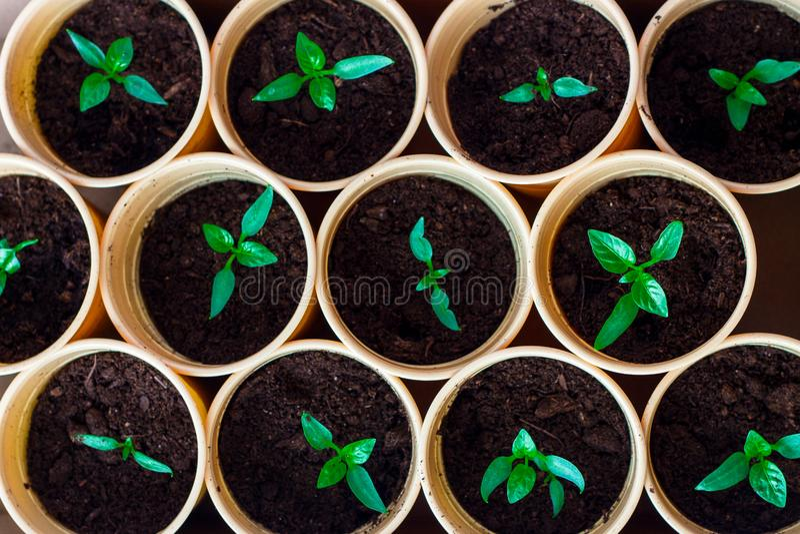 De groene spruiten van de lentezaailingen in potten royalty-vrije stock foto