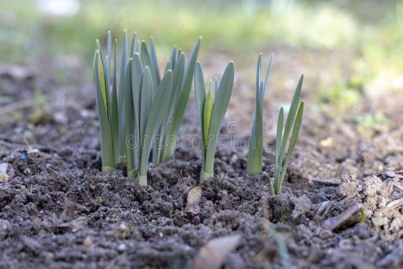 De groene spruiten van tulp bloeit in openlucht royalty-vrije stock afbeelding