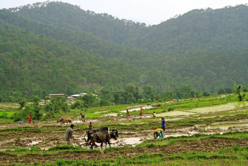 De groene stap landbouw en rijstcultuur in landelijk h stock foto's