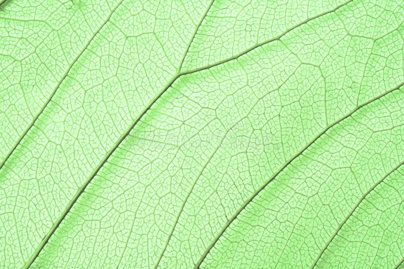 De groene structuur van het skeletblad stock fotografie
