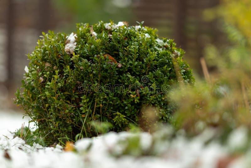 De groene struik van bukshout met gevallen gele bladeren is behandeld met de eerste sneeuw Details van aard in de herfst Selectie stock foto's