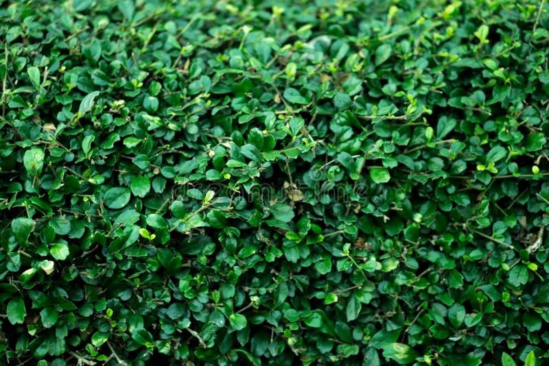 De groene struikmuur royalty-vrije stock afbeelding