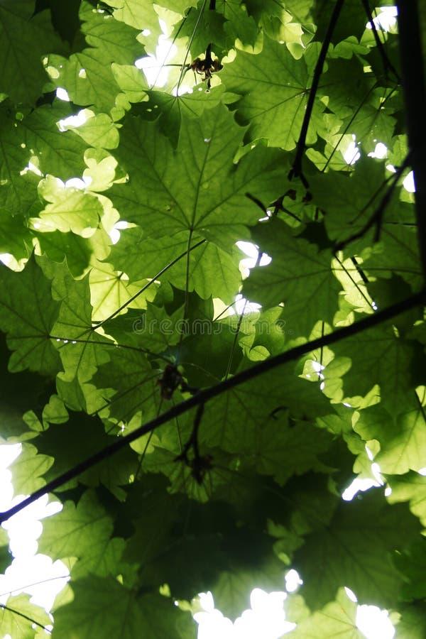 De groene Textuur van het Blad stock foto