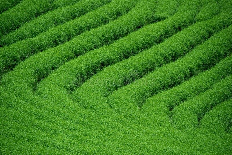De groene van de het landbouwbedrijfaard van de theetuin abstracte achtergrond stock fotografie