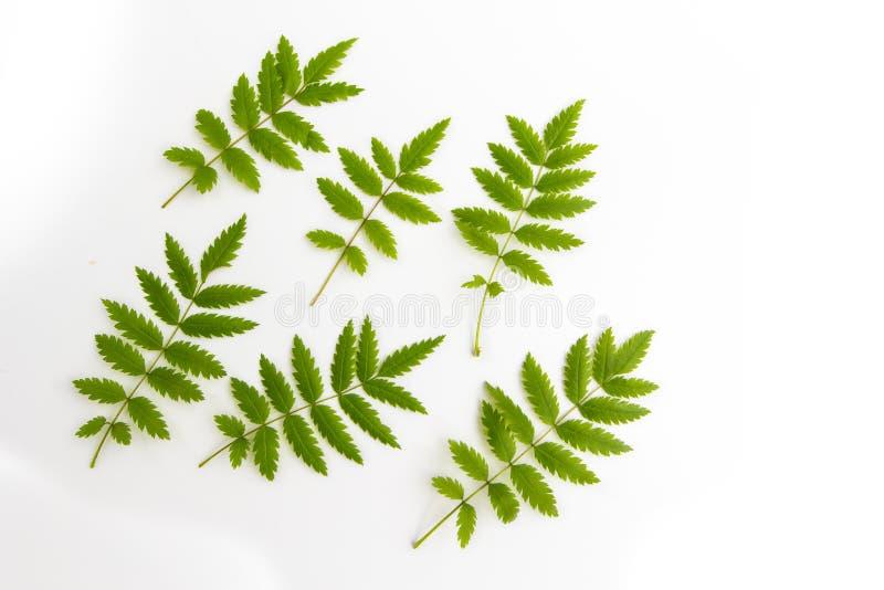 De groene verse gesneden die bladeren van lijsterbes, lijsterbes, op witte achtergrond, vlakte wordt geïsoleerd leggen hoogste me stock fotografie