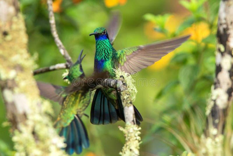 De groene violet-oorzitting op tak, kolibrie van tropisch bos, Ecuador die, vogel, uiterst kleine vogel met uitgestrekte vleugels stock afbeelding