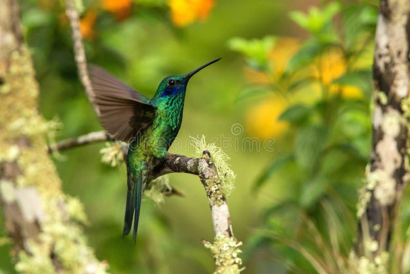 De groene violet-oorzitting op tak, kolibrie van tropisch bos, Ecuador die, vogel, uiterst kleine vogel met uitgestrekte vleugels royalty-vrije stock foto's