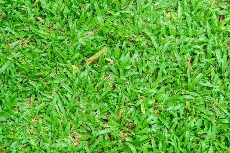 De groene werf van het grasgazon in regenachtig seizoen als aardachtergrond stock fotografie