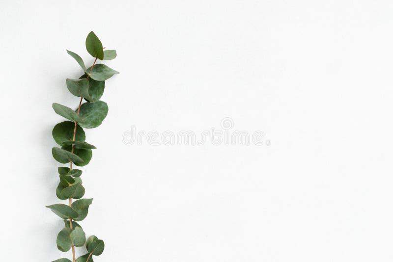 De groene witte natuurlijke achtergrond van het eucalyptustakje stock afbeelding