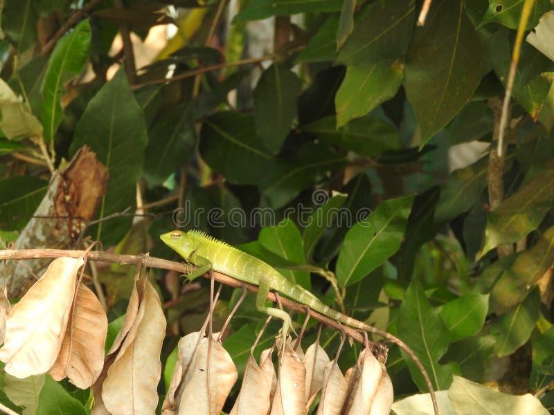 De groene zitting van het kameleonclose-up op een tak in de wildernissen van Sri Lanka stock foto's