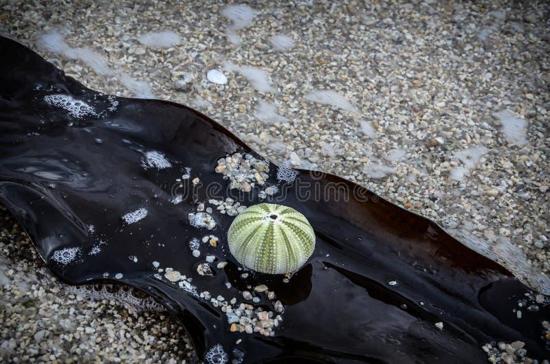 De groene zitting van het zeeëgelskelet op een bruin overzees onkruid stock foto