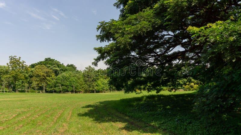 De groenerij verlaat takken van grote Rijnbomen die op groen gras besproeien onder de blauwe hemel en zonneschijn 's ochtends, ge royalty-vrije stock afbeelding