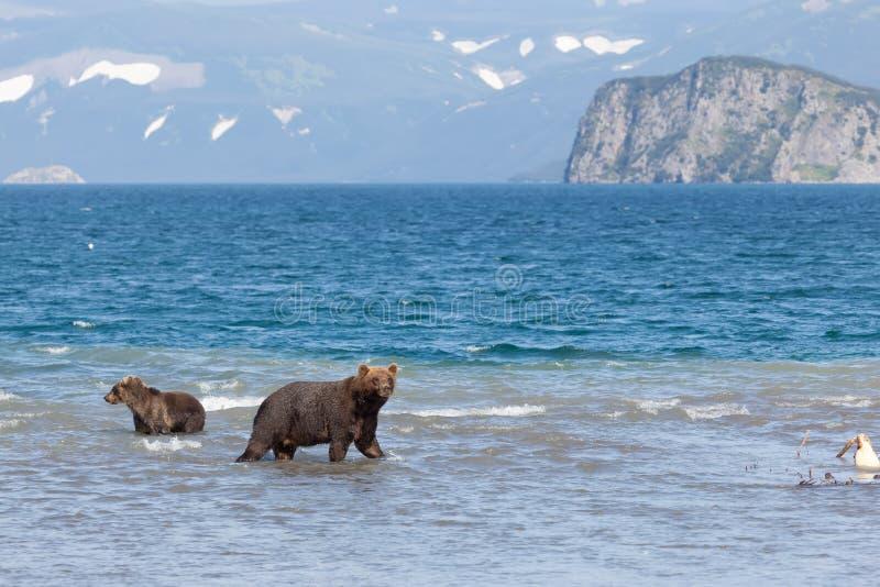 De groep bruine wildernis draagt vissend in Kuril meer Kronotskynatuurreservaat kamchatka Rusland royalty-vrije stock foto's