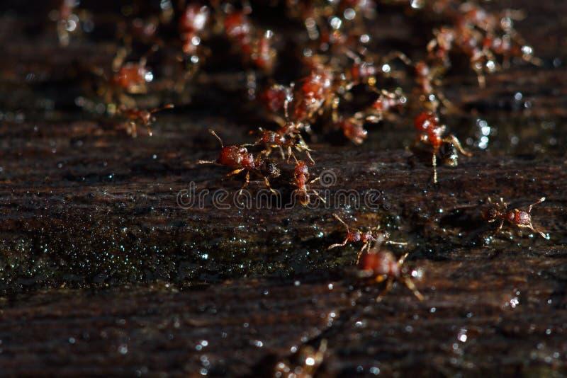De groep het Rode Mieren helpen overhandigt elkaar om voedsel op hout te dragen royalty-vrije stock afbeelding