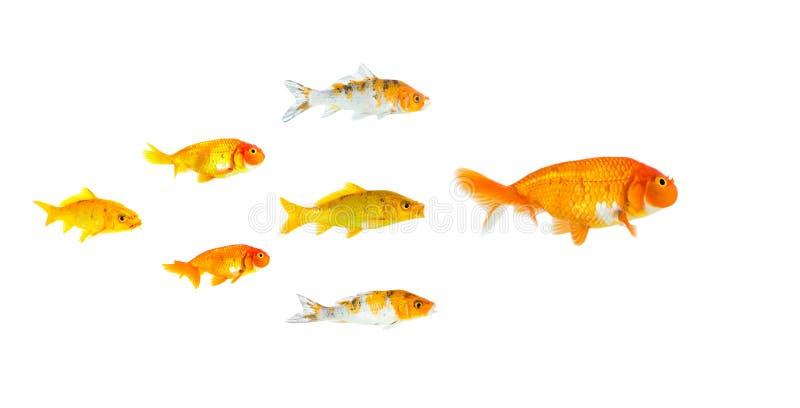 De groep Kleine die goudvis en koi vissen na de leider op witte achtergrond wordt geïsoleerd die het succes van de leidersindivid stock fotografie