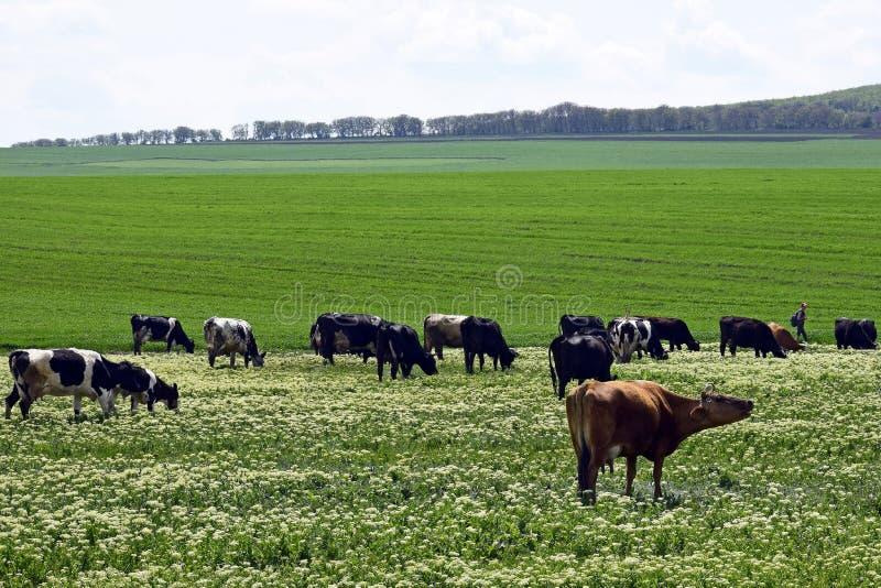 De groep koeien weidt op een groene weide in de lentedag, veelandbouwgrond royalty-vrije stock afbeeldingen