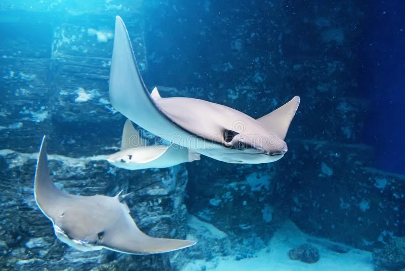 De groep pijlstaartroggen zwemt op het blauwe overzees dichtbij de onderwaterrotsen royalty-vrije stock foto