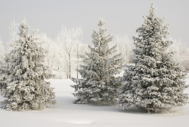 De groep sneeuw behandelde evergreens met witte behandelde bomen in achtergrond en van de sneeuwgrond dekking in de winter stock fotografie