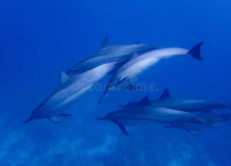 De groep Spinnerdolfijnen zwemt dicht in Blauw Water stock afbeeldingen