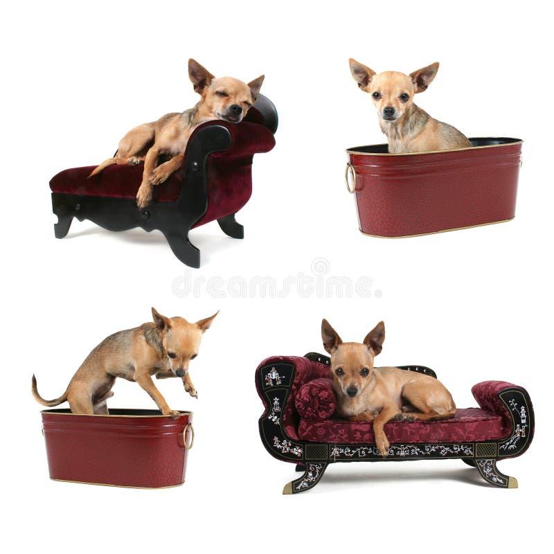 De groep van Chihuahua stock fotografie