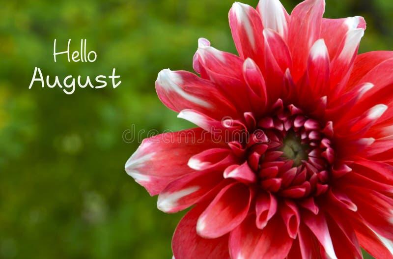 De groet van Hello Augustus met rode Dahliabloem op een groene vage tuinachtergrond stock afbeeldingen