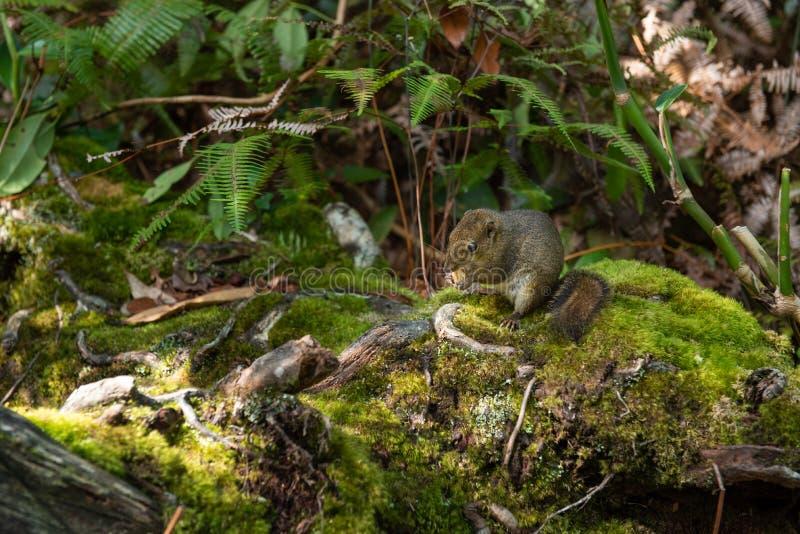 De grondeekhoorn die van het Kinabalupark zich in de wildernis met stuk van appel of Spermophilus-de sc?ne van het citelluswild v stock fotografie