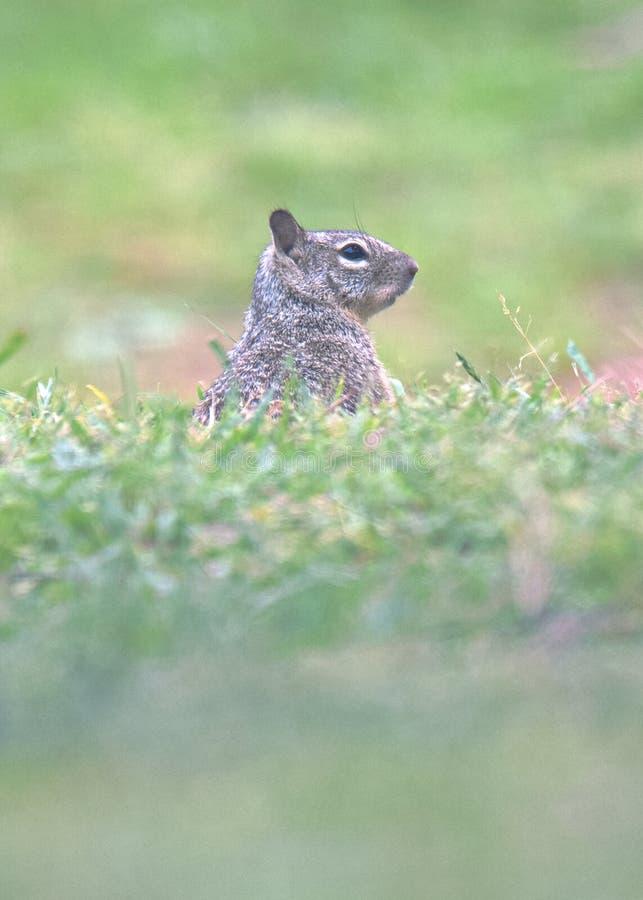 De grondeekhoorn stock foto's