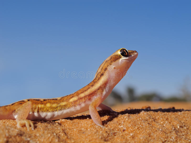 De grondgekko van Kalahari royalty-vrije stock fotografie
