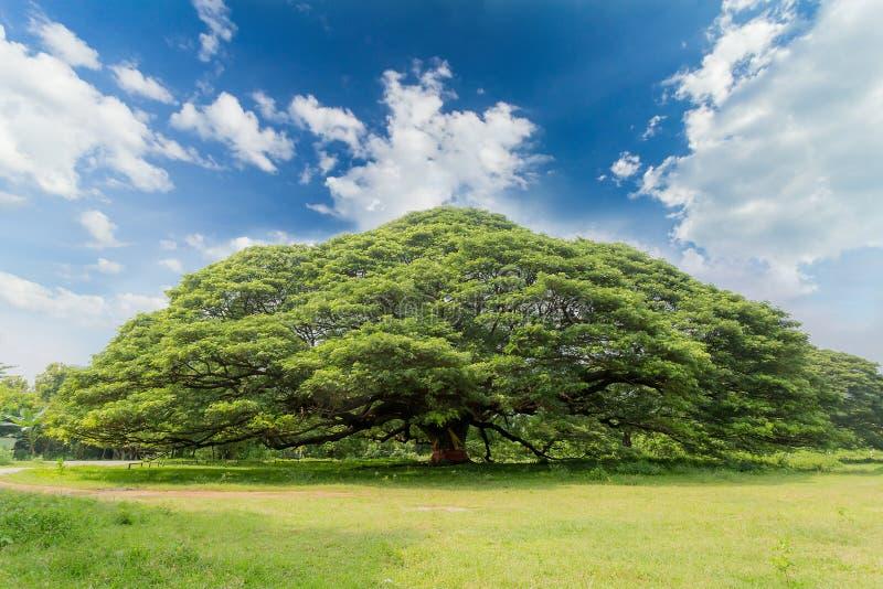 De grootste boom van de aappeul op de blauwe hemel royalty-vrije stock fotografie