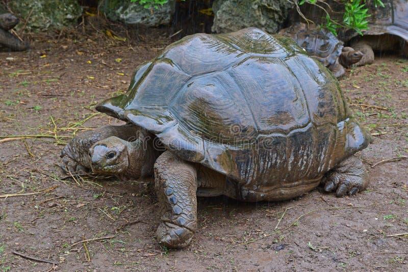 De grootste schildpad in het park die een droge schaduw tijdens een stortbui proberen te vinden royalty-vrije stock foto