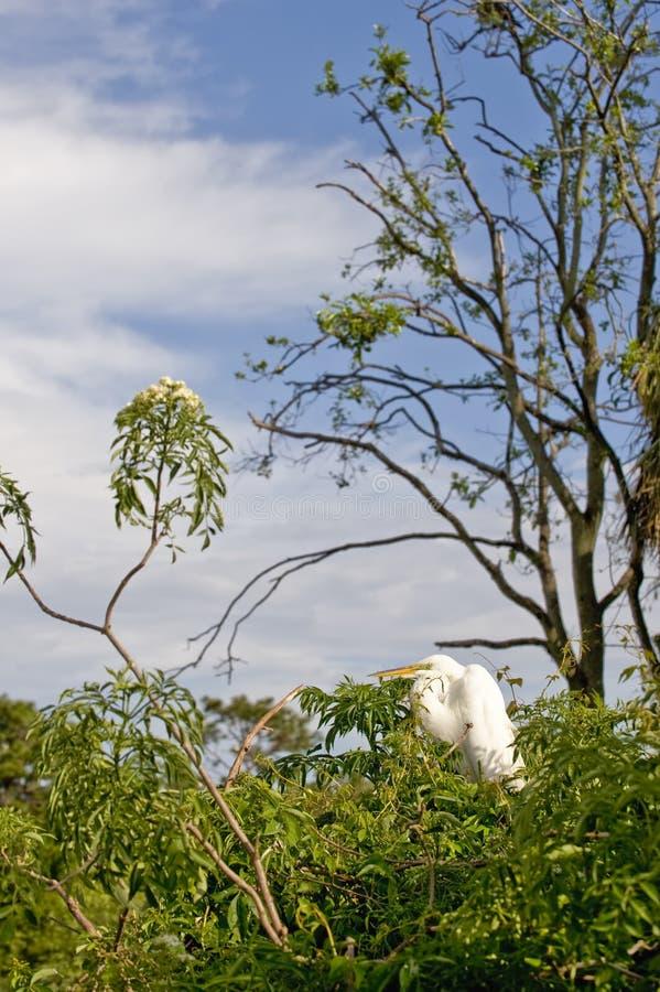 De grote Aigrette van het Vee stock foto's