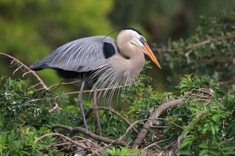 De grote Blauwe Reiger die zich op een nest bevinden het is het grootste Noorden Ame royalty-vrije stock afbeelding