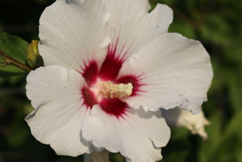 De grote bloemen van roze hibiscus verfraaien tuinen en binnenplaatsen van huizen stock foto's