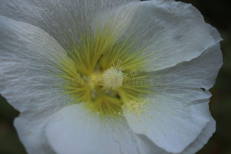 De grote bloemen van witte malve verfraaien tuinen en binnenplaatsen van huizen royalty-vrije stock afbeeldingen