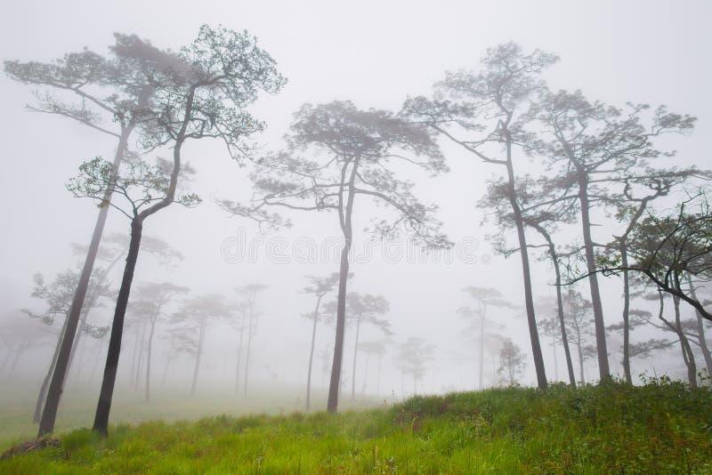 De grote bomen bevinden zich in bos met mistig bij regenachtig seizoen stock foto