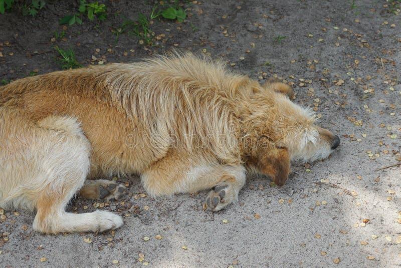 De grote bruine hond ligt en slaap op grijs zand stock fotografie