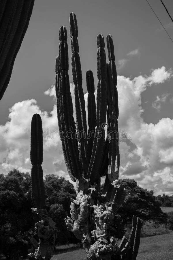 De grote cactus stock afbeeldingen