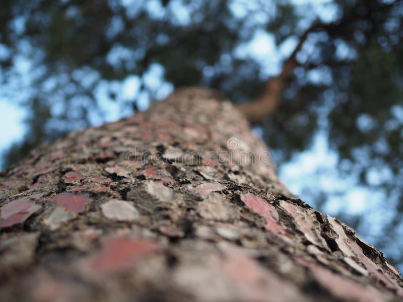 De grote close-up van de boomstam Italiaanse pijnboom De mening van beneden naar boven stock afbeelding