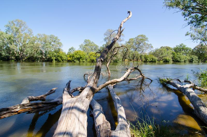 De grote dode boom en het groene bos naast Murray River zijn de langste rivier van Australië ` s in Albury, Nieuw Zuid-Wales royalty-vrije stock foto's