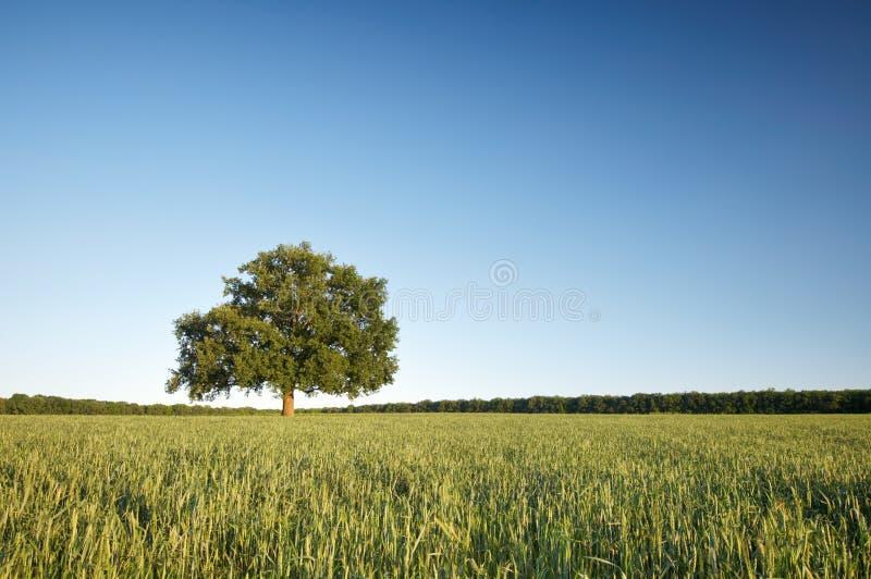 De grote eenzame eiken boom op een groen gebied tegen de blauwe hemel royalty-vrije stock foto's