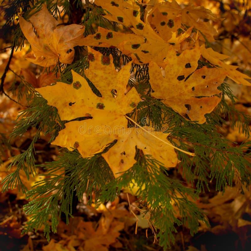 De grote gele bladeren van Mapple stock foto