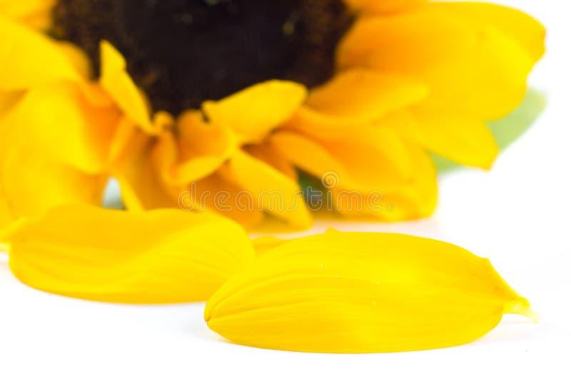 De Grote gele zonnebloembloem royalty-vrije stock foto's