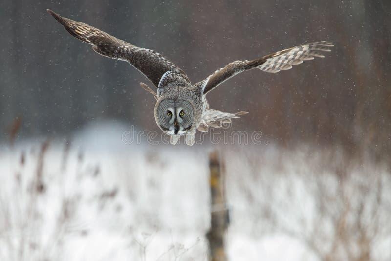 De grote Grey Owl-jacht royalty-vrije stock afbeelding